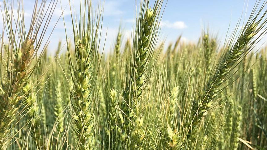 Yerli buğday Taner: Kuraklığa dayanıklı, verimli ve kaliteli