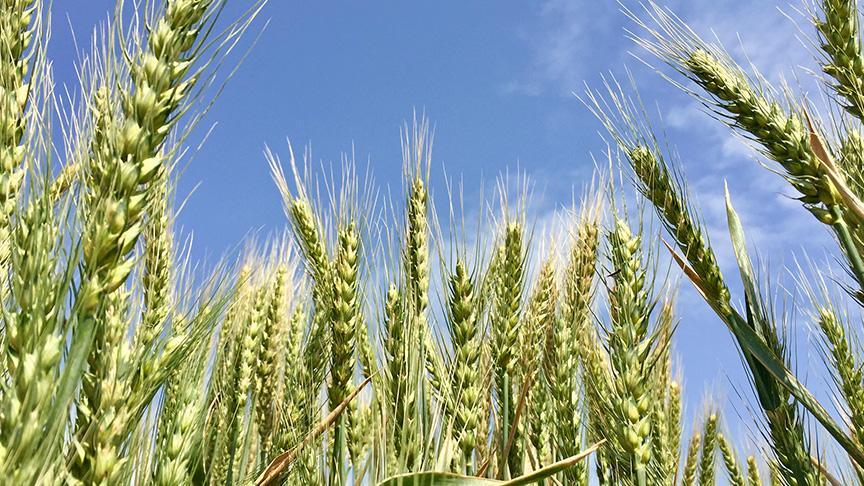Yerli buğday Taner