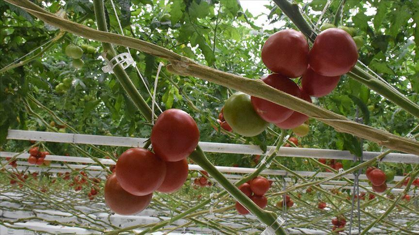 Batı Akdeniz 4 ayda 62 milyon dolarlık domates ihraç etti