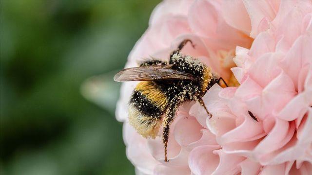 Polenleyicilerin baş aktörü arıların yüzde 40'ı yok olabilir