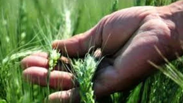 Konya Ovası'nda doğaya 800 bin yararlı böcek salındı