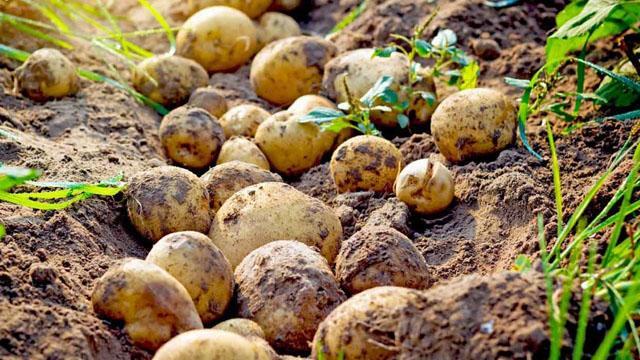 """Patates tarlada 1,4 liraya kadar geriledi"""