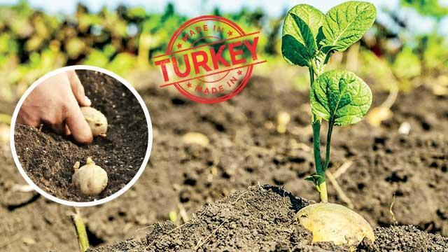Yerli patates daha az suyla yetişecek