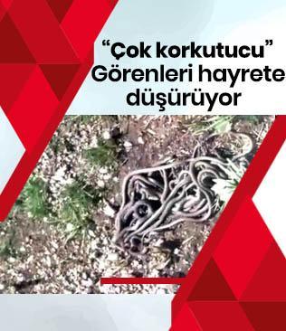 Yüksekova'da yılan sürüsü görenleri hayrete düşürüyor
