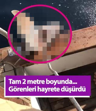 Antalya'da 2 metre boyunda köpek balığı yakalandı