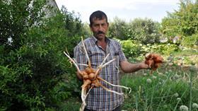 Çanakkale'de hasadı yapılan bir kökten yapışık soğanlar görüntüsüyle şaşırttı