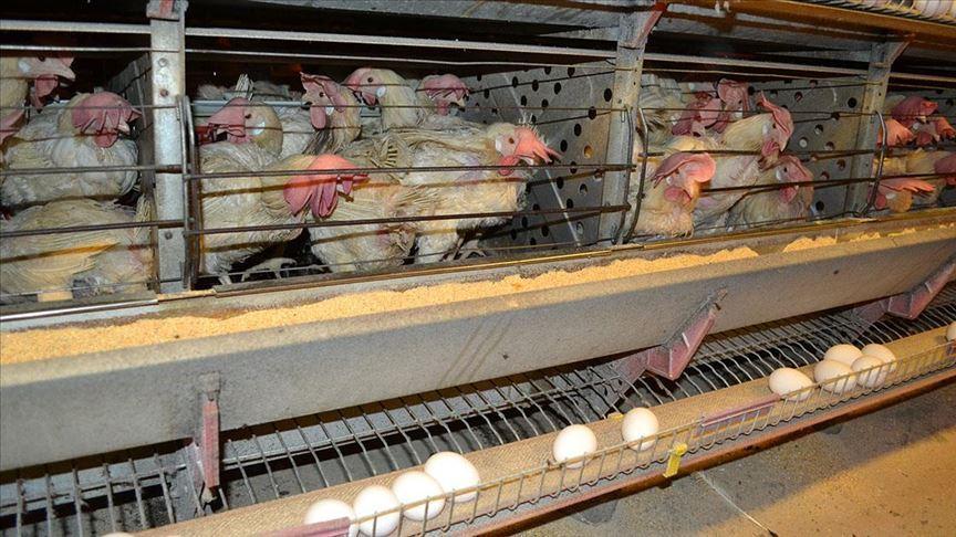 Yumurta üreticileri kesim desteği bekliyor