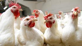Türk yumurtası için farklı sepet arayışları hızlandı!