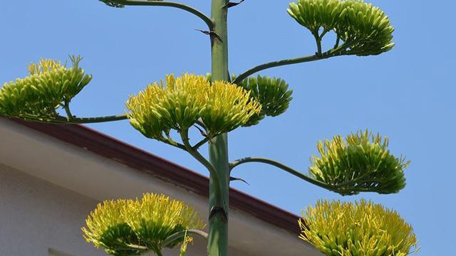 UNESCO'nun Dünya Kültür Mirası Listesi'ndeki agave bitkisi 20 yıl sonra çiçek açtı