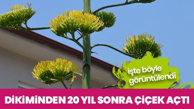 UNESCO listesindeki o bitki 20 yıl sonra çiçek açtı