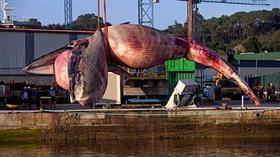 75 tonluk dev balina İspanya'da sahile vurdu, vinç taşımakta zorlandı!