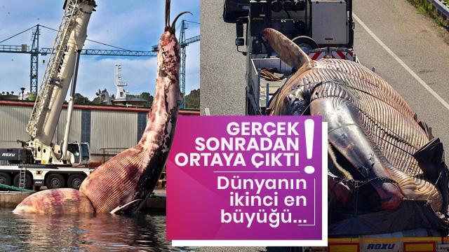 Dev balina sahile vurdu: Vinç taşıyamadı