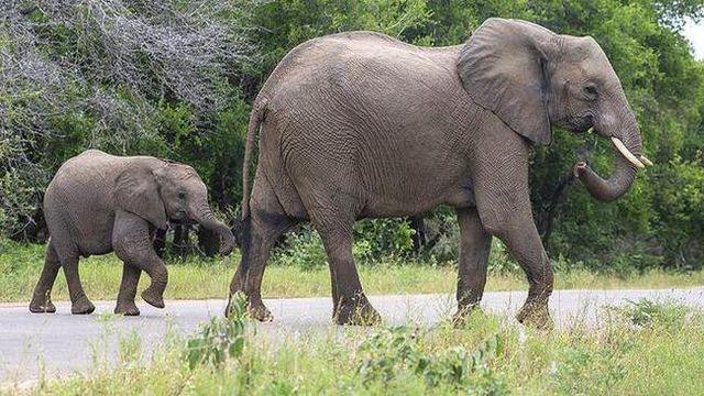 BM'den Afrika fillerinin hayvanat bahçelerine getirilmelerine yasak