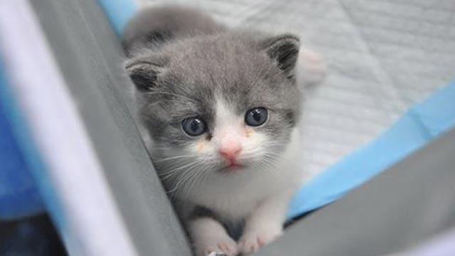 """O Çin'in ilk klonlanmış kedisi... İsmi de """"Garlic"""""""