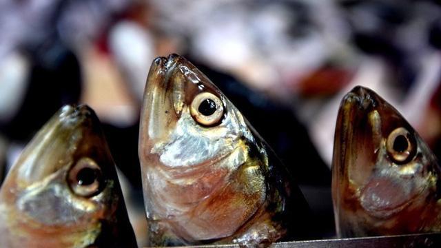 'Karadeniz alarm veriyor, balık av sezonu Kasım'da kapanabilir'