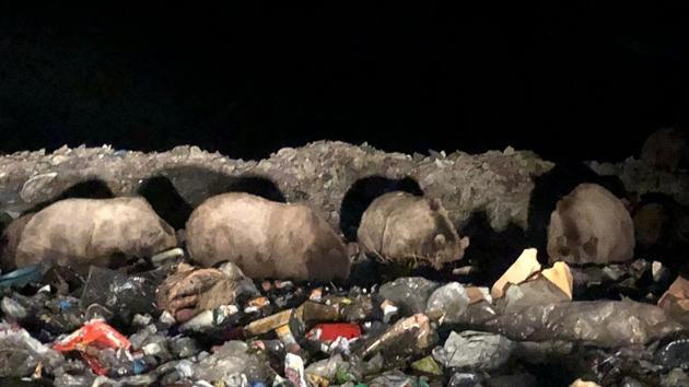 Sarıkamış'ta boz ayı ailesi görüntülendi