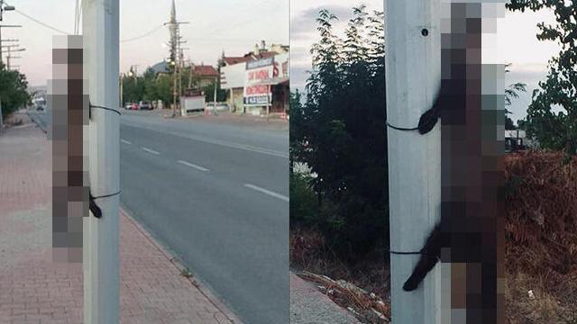 Böyle vicdansızlık olamaz: Konya'da kaya sansarı, başından ve ayaklarından bağlanarak yön levhasına asıldı