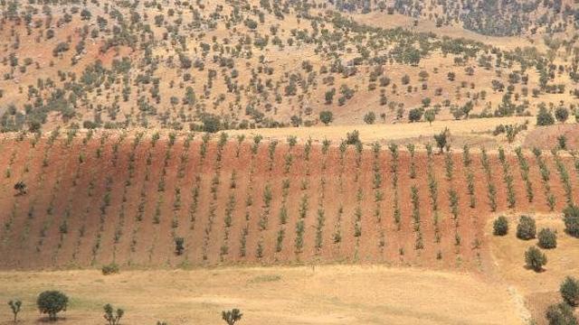 Gabar ve Cudi dağlarının etekleri fıstık bahçeleriyle doldu