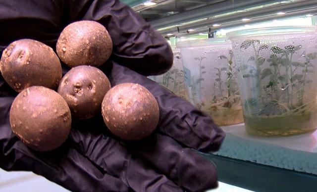 Atık suyla ısıtılan seradan yurt dışına patates tohumu