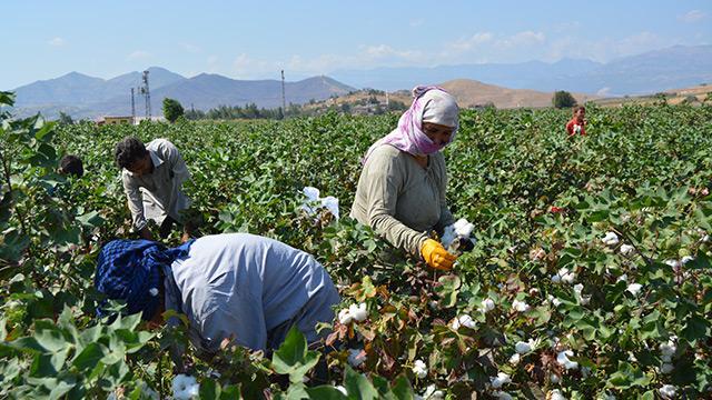 İşçiler Gaziantep'te pamuk hasadına başladı