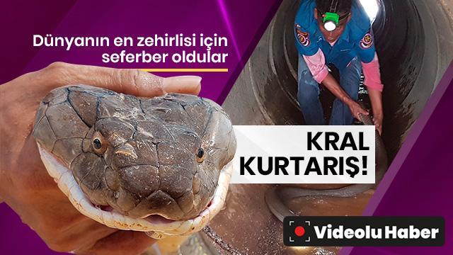 Tayland'da 4 metrelik kral kobra yılanı kanalizasyondan çıkarıldı