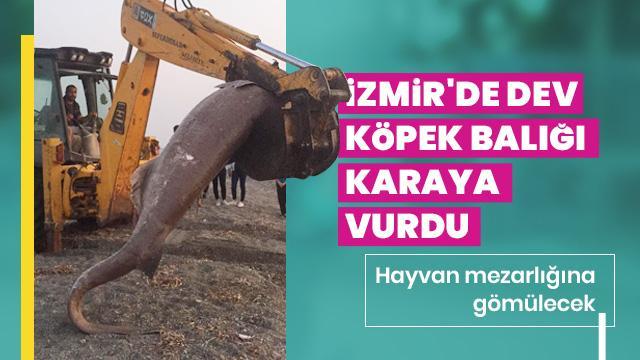 İzmir'de görenleri şoke eden olay! Köpek balığı karaya vurdu
