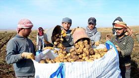 Bitlis'te patatesten 260 milyon liralık gelir hedefleniyor