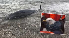Sahil Güvenlik'ten kıyıya vuran balina ve kanadı kırık martıya yardım eli