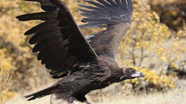 Tunceli-Erzincan arasında leşlerle beslenen kara akbaba görüntülendi