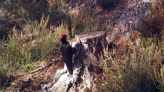 Tekirdağ'da en büyük ağaçkakan cinsi olan kara ağaçkakan görüntülendi