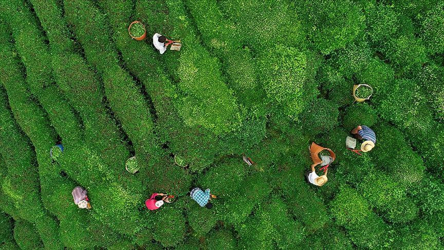 Yaş çay üreticilerine fark ödemesi desteği