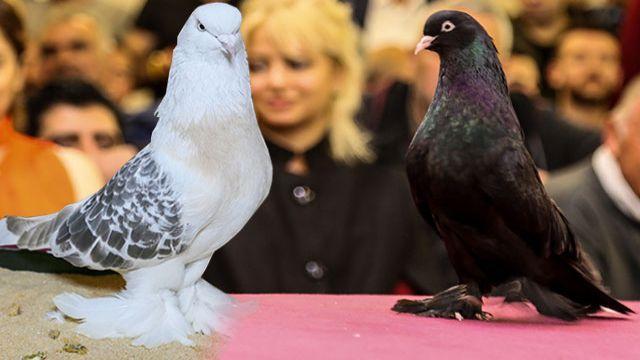 Bu güvercinlerin fiyatı dudak uçaklatıyor