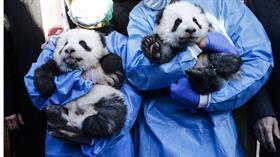 Berlin'de 100 gün önce dünyaya gelen pandalara isimleri verildi