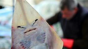 Balıkçıların yeni kabusu: İnsan yüzlü sapan balığı...
