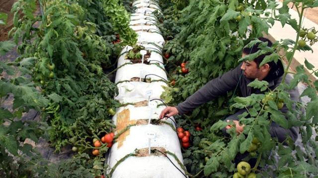 Topraksız tarım ile ürettiği fideleri hem yurt içi hem de yurt dışına satıyor!