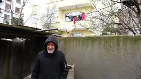 Postacıyı kovalayan kızgın horoz Hüsnü'nün sahibi konuştu: Galiba postacıya kafayı takmış