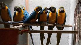 Ticareti özel izne tabi olan papağanları sosyal medyadan satacaktı! Yakalandı...
