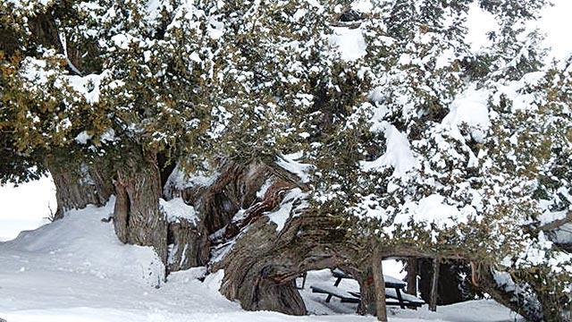 2 bin yıllık anıt ağaç yıkıldı