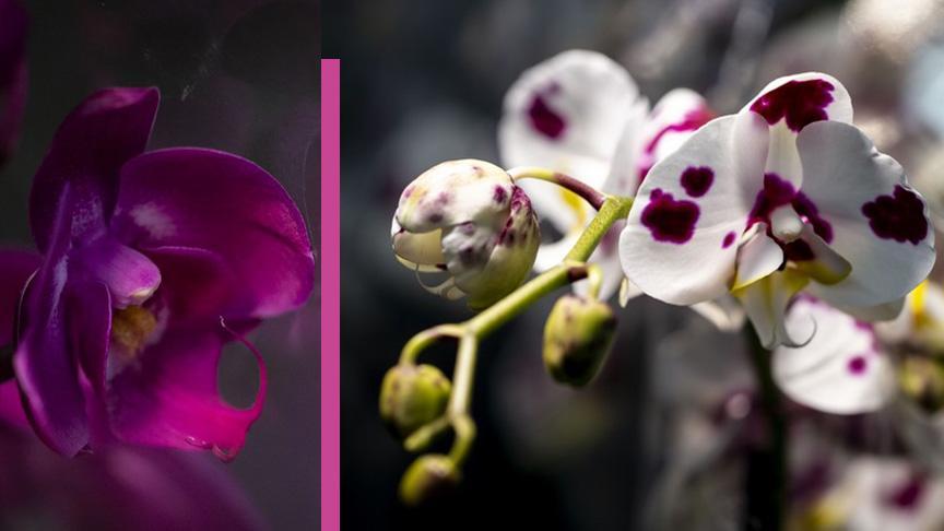 2 milyon orkideyle 'Sevgililer Günü'ne hazırlar