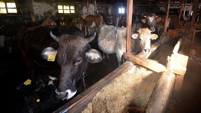 Tarım ve Orman Bakanlığından depremde hayvanları telef olan vatandaşlara hayvan ve yem desteği