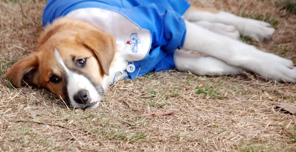 Hastalanan köpek 'Fındık', tedavi için Ankara'ya gönderildi