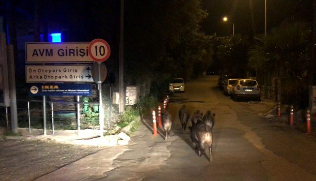 Bodrum'da aç kalan domuzlar, ilçe merkezine indi