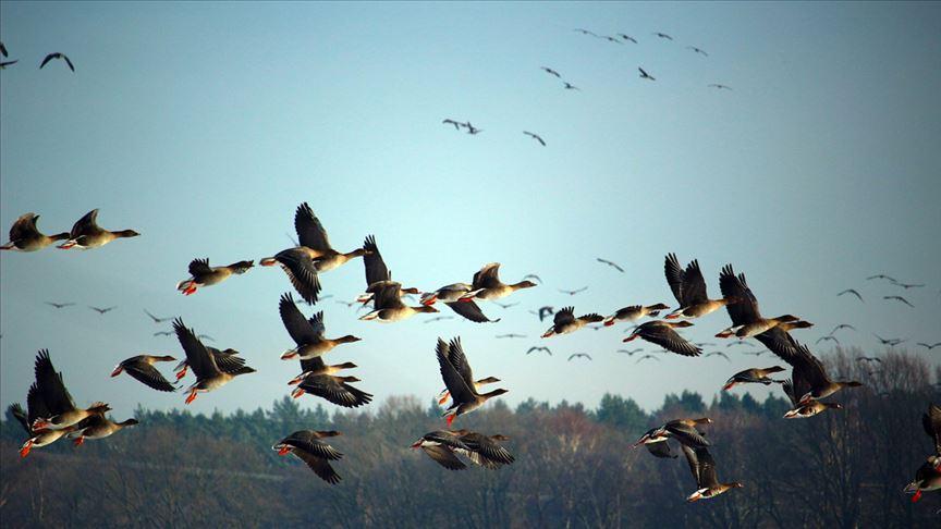 Trump yönetiminin yasa değişikliği milyarlarca kuşun ölümüne neden olabilir