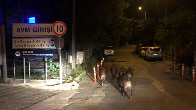 Bodrum'da aç kalan vahşi domuzlar ilçe merkezine indi