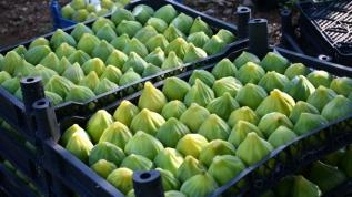 'Yediveren' inciri toplanmaya başlandı