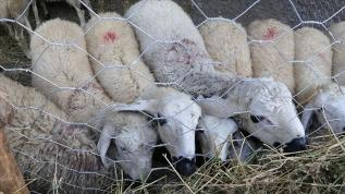 """""""Kurbanlık küçükbaş hayvan sayımız, 138 ülkenin koyun, keçi varlığından fazla"""""""
