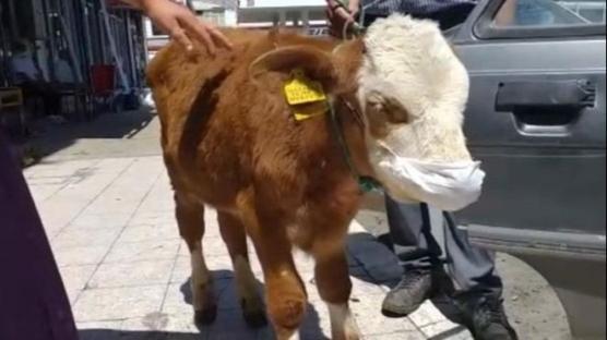 Kars'ta veterinere giden 3 aylık buzağı maske taktı
