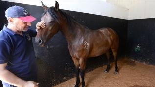 Dünyaca ünlü aygırlar kayıp! Safkan at çiftliğini de yağmaladı