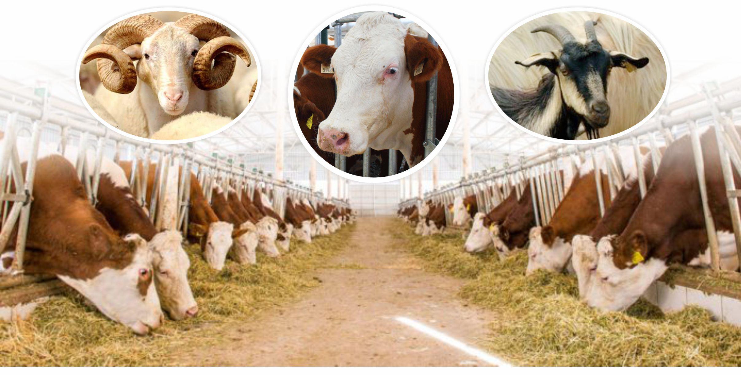 Kovid-19 nedeniyle küçük kapasiteli hayvancılık işletmelerine yem desteği verilecek Gündem Haberi | GÜNEŞ