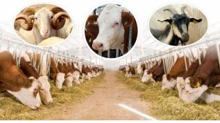 Kovid-19 nedeniyle küçük kapasiteli hayvancılık işletmelerine yem desteği verilecek